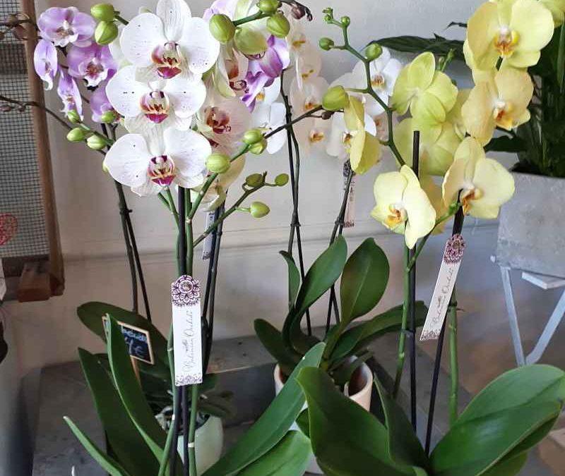 Cuidados de las orquídeas en casa
