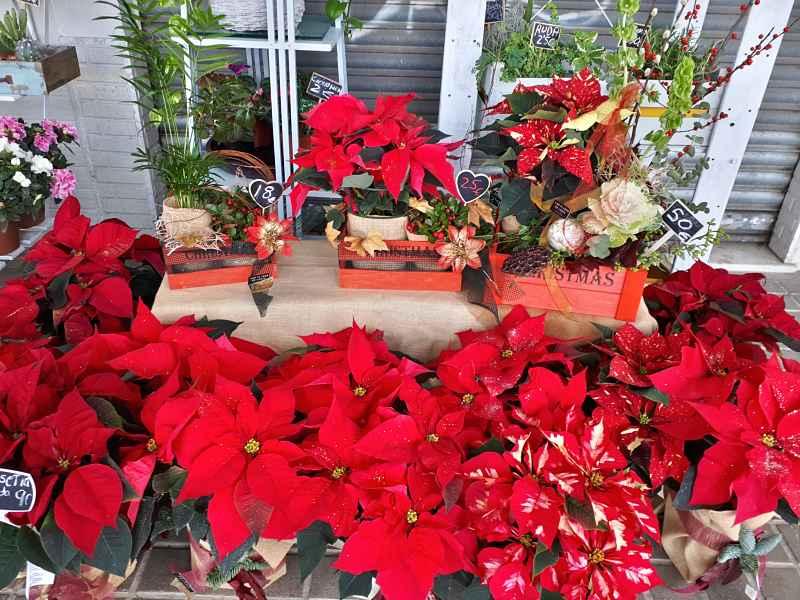 Cuidados de la Planta de Navidad